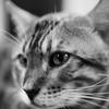 鉄板焼き屋の猫