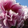 散歩途中のお花たち**