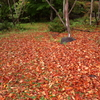 赤が主体の落ち葉