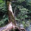 落ちそうな木