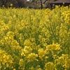 幸福の黄色いナノハナ…