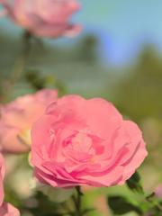 君に薔薇薔薇…という感じ