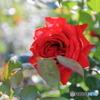 真昼の薔薇