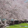 散歩~桜撮る人②