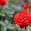 すてきな薔薇②