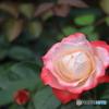 すてきな薔薇①
