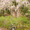 枝垂れ桜と自転車