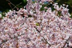 メジロIN桜