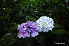 紫と白の紫陽花