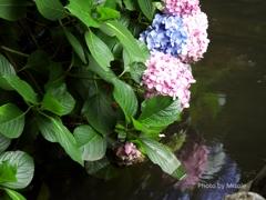 池に沈む紫陽花