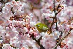 メジロIN桜 トリミング