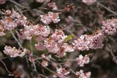 メジロIN桜2