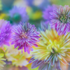 冬の菊花火