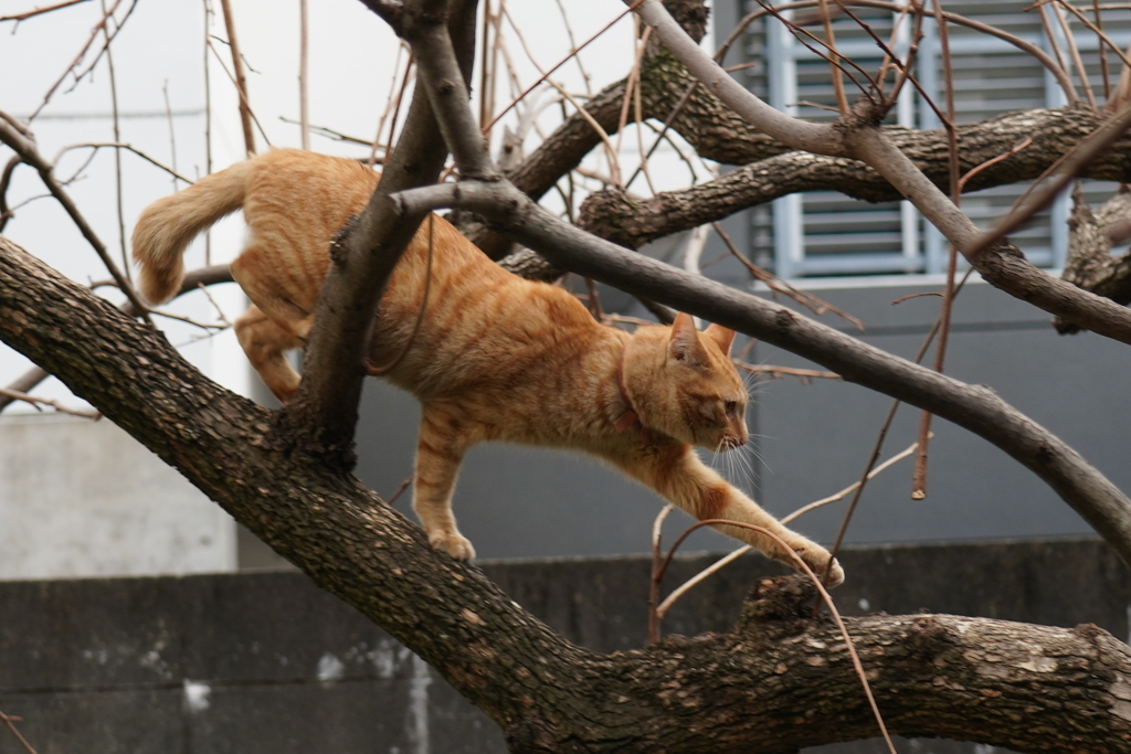 よっこいしょ木登り猫