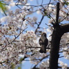 桜にヒヨドリ?