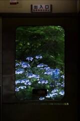 紫陽花が待つ駅