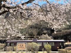 終着駅の桜