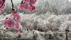 春の雪化粧