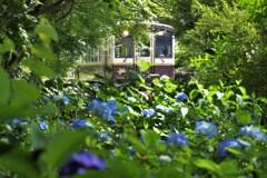 紫陽花が咲く鉄路