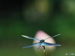 蓮池のチョウトンボ