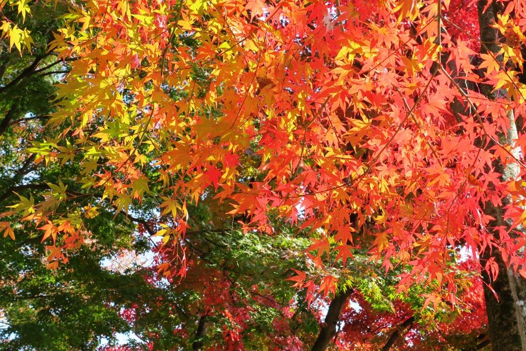 大平山の紅葉1