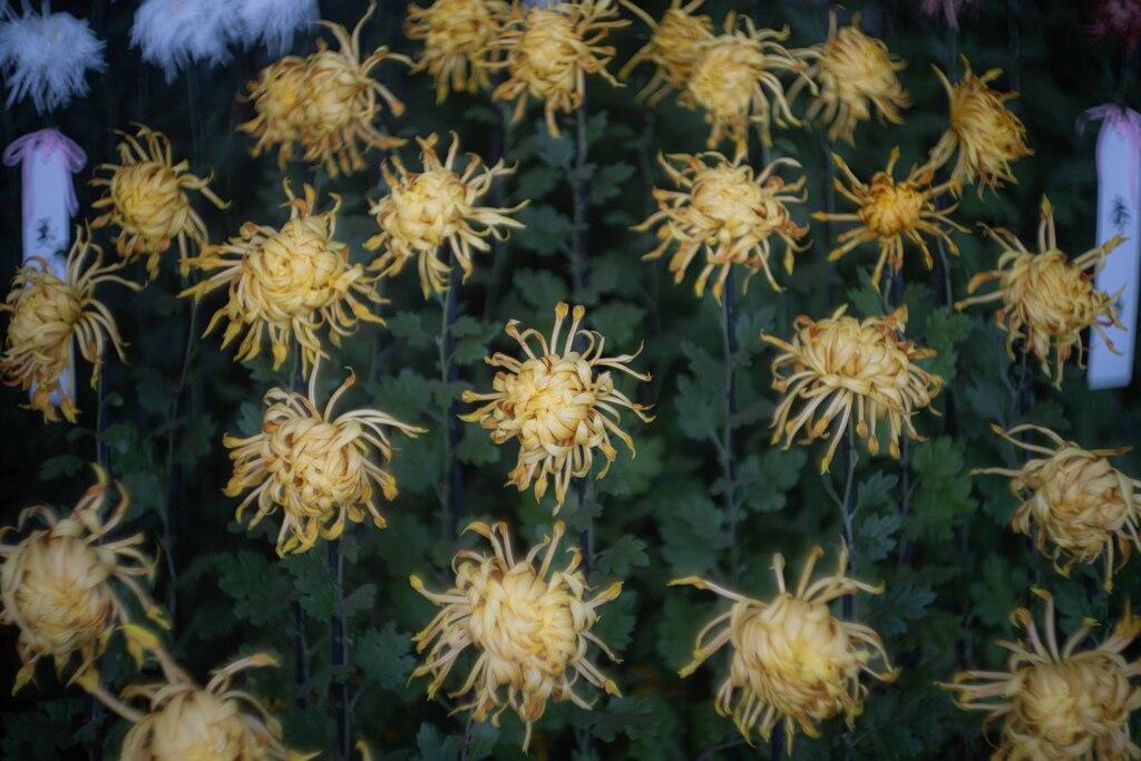 面白い菊 黄色