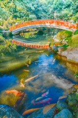 池の鯉と赤い橋