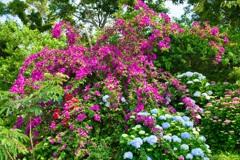 Bougainvillea and Hydrangea