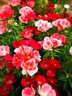 咲き誇る赤