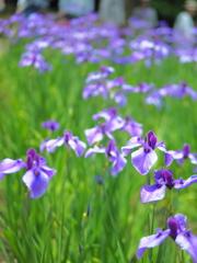 初夏を告げる花