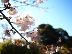 山田桜2017