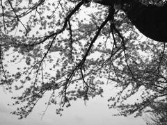 木場桜モノクローム