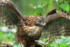 オオタカ 幼鳥♀