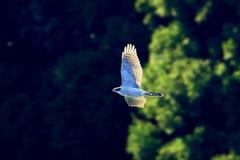 オオタカ親(飛翔)ー3