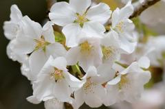 古木の白い花