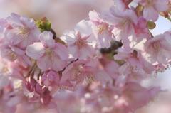桜の季節が