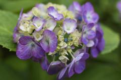 瑞々しい紫陽花