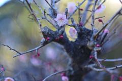 五分咲きの梅