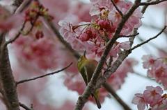 桜花をひとりじめ
