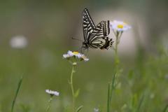 今年初めての揚羽蝶