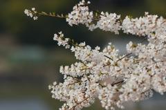 誇らしく咲いて美杉の薄墨桜