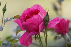 今年も咲いた家の薔薇