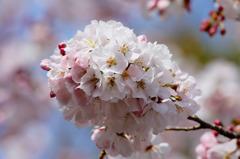 早咲きのソメイヨシノ