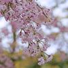 春を彩るしだれ桜