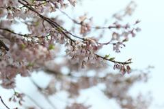 美杉町の薄墨桜