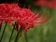 燃ゆる紅花。。。