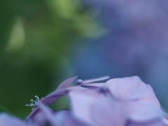 紫陽花バイオレット。