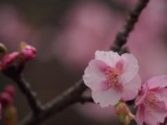 春待ち華。