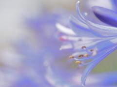 淡く切なく。。。青き花