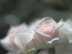 薔薇の吐息。。。